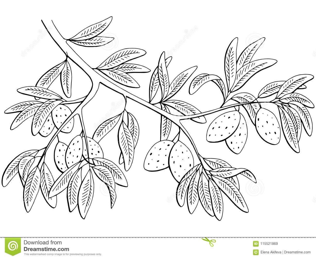 Almond nut graphic black white isolated branch sketch illustration vector