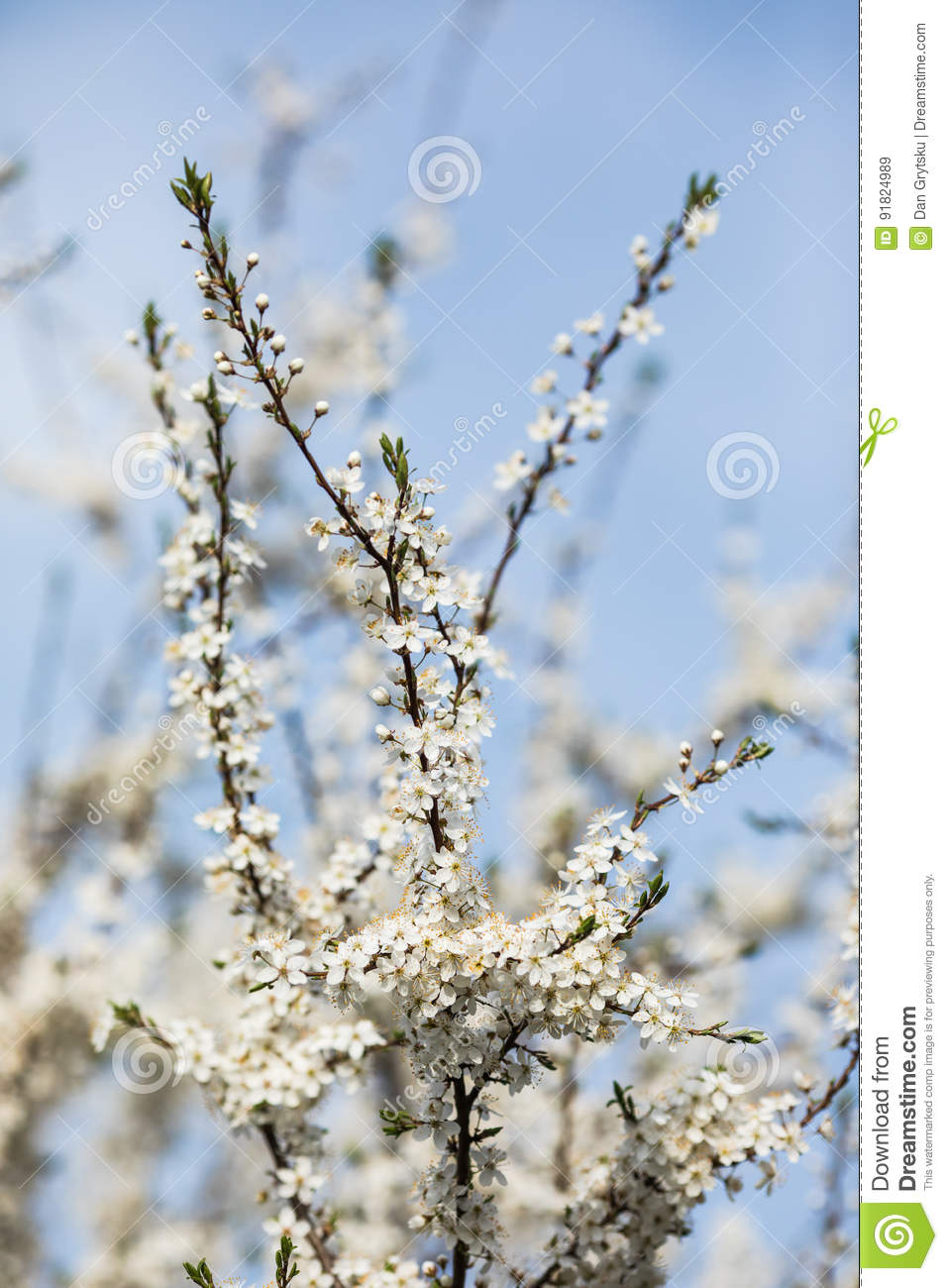 Almond Tree With Big White Flowers Under Blue Sky Stock Image