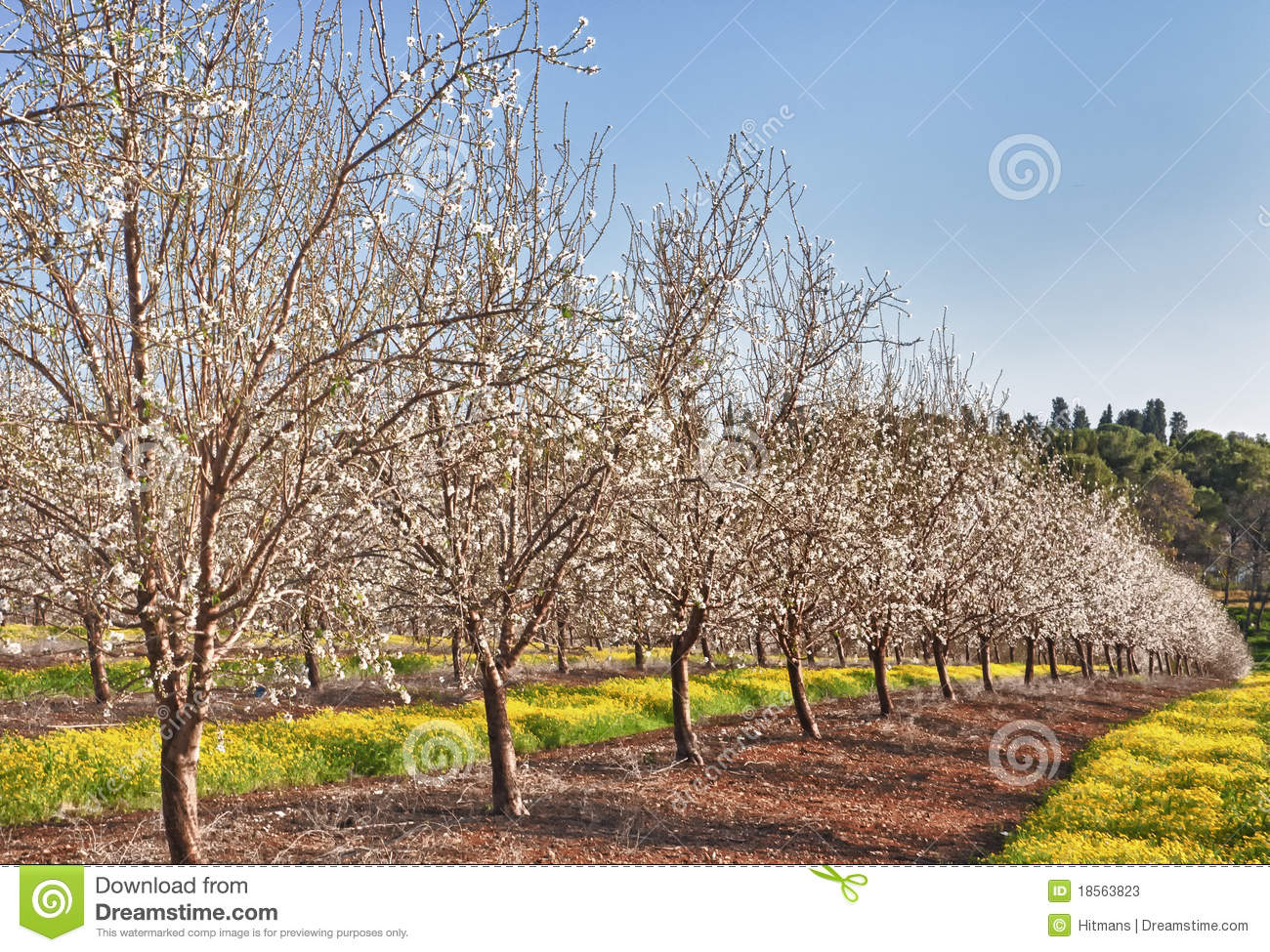 Almond tree field stock image. Image of background, flower - 18563823