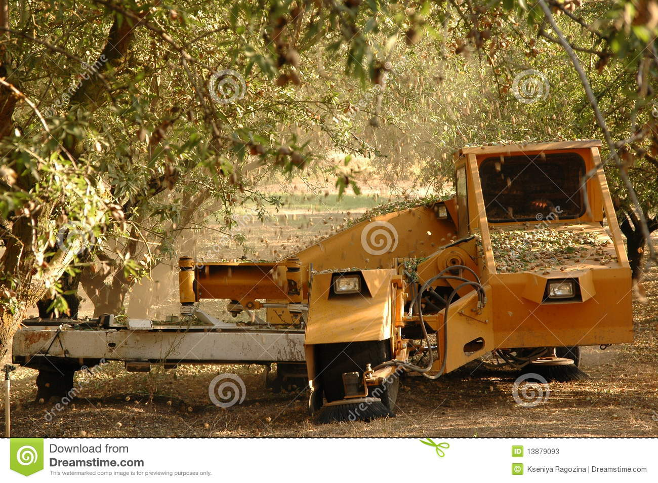 Almond tree at the harvest time