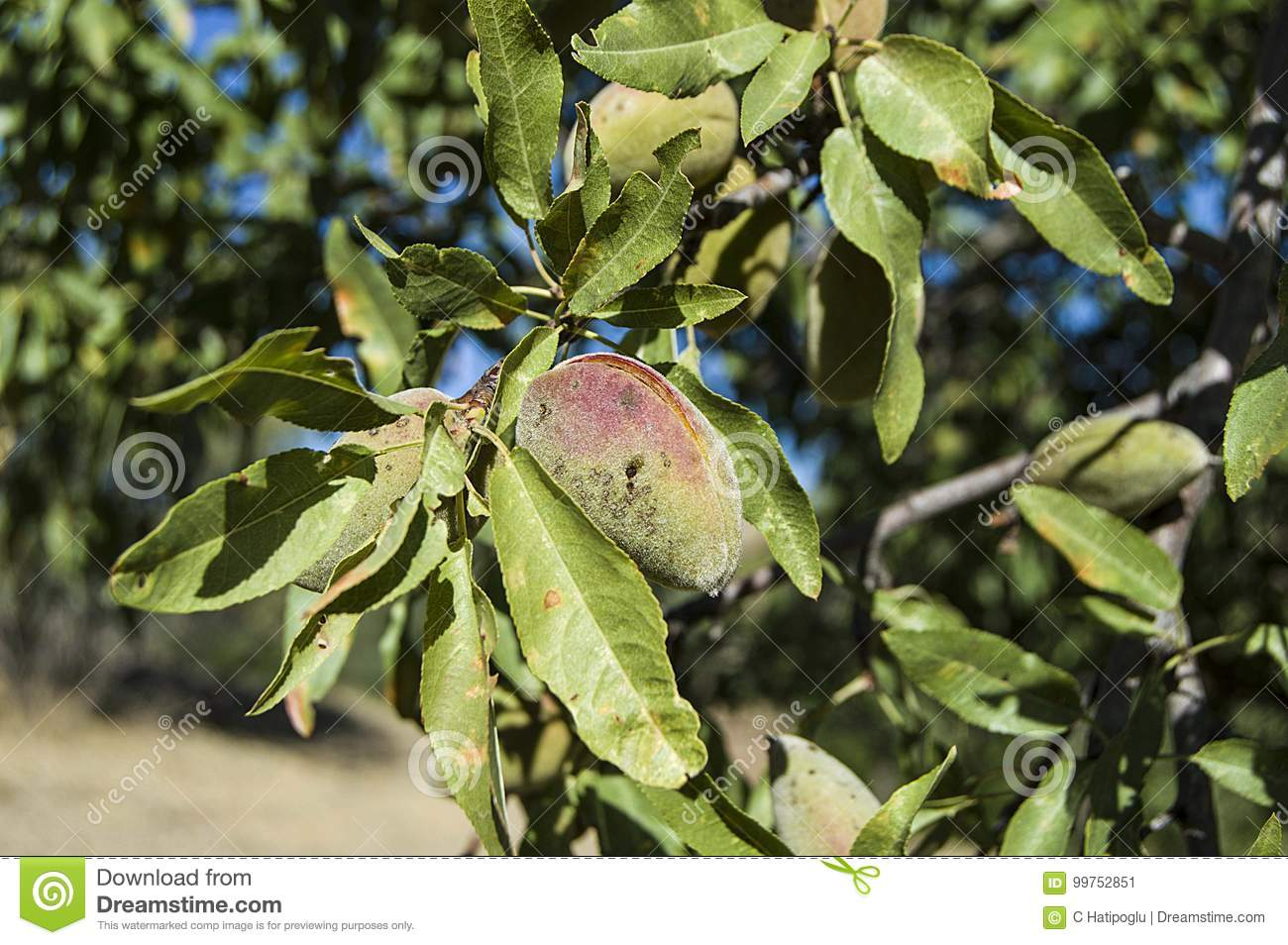 Almond tree mature