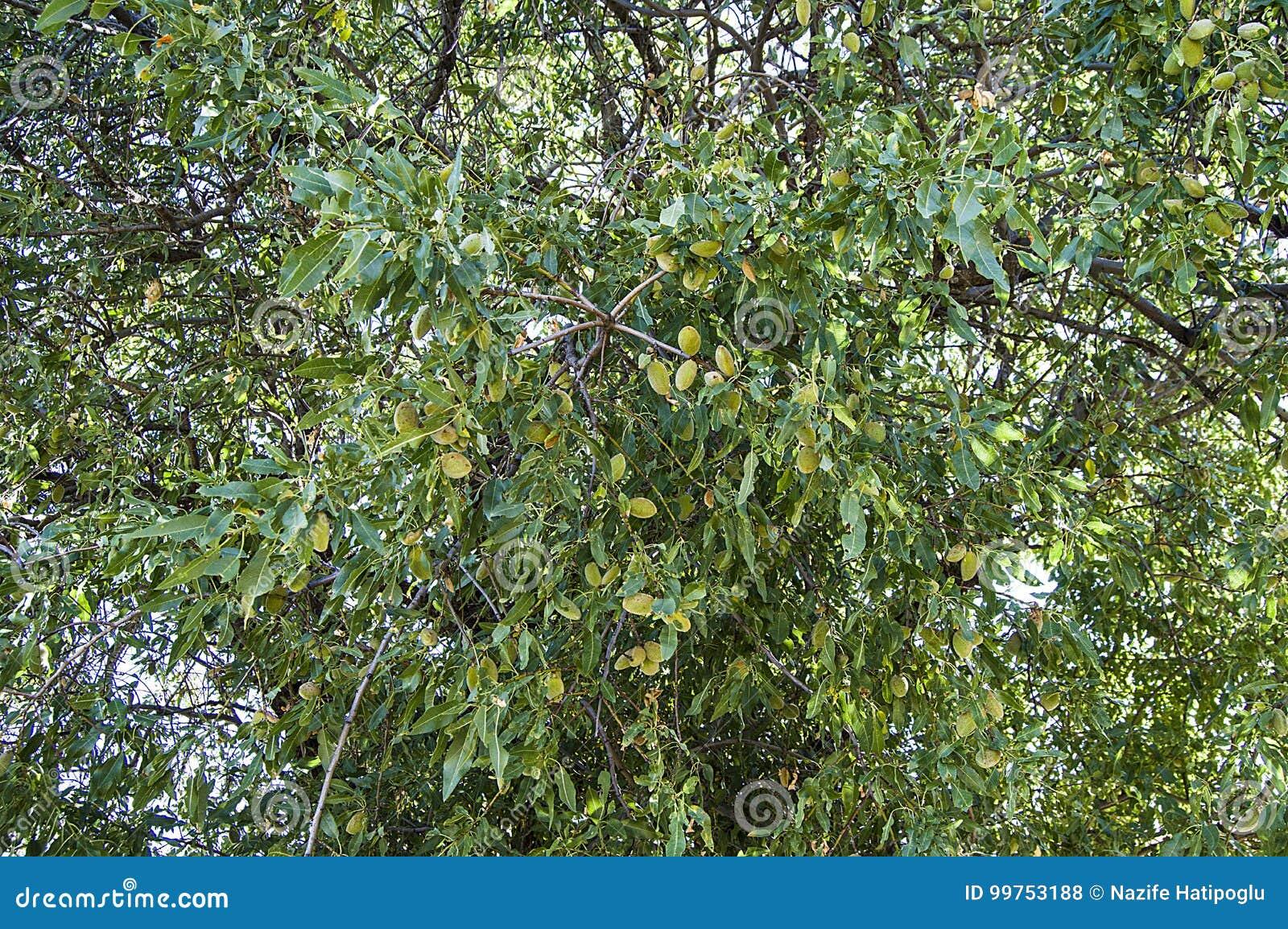 Almond tree mature