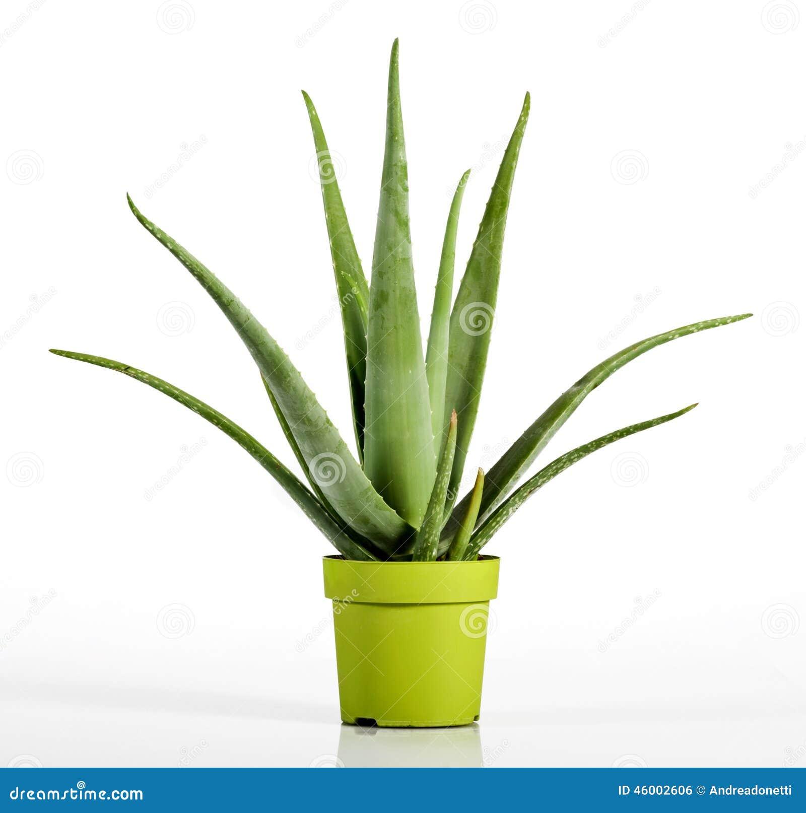 aloès vera plant sur le pot de vert jaune photo stock - image du