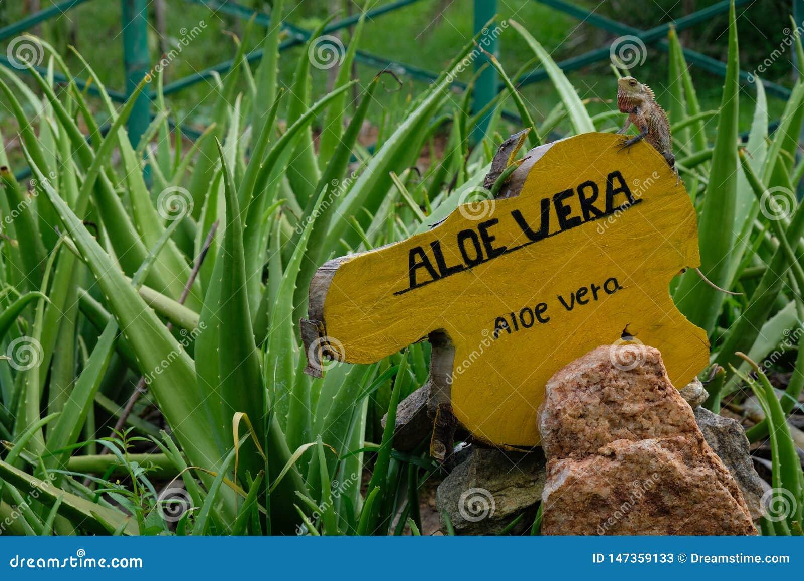 Aloë Vera met leguaan in een kruidige tuin in Sri Lanka, Azië