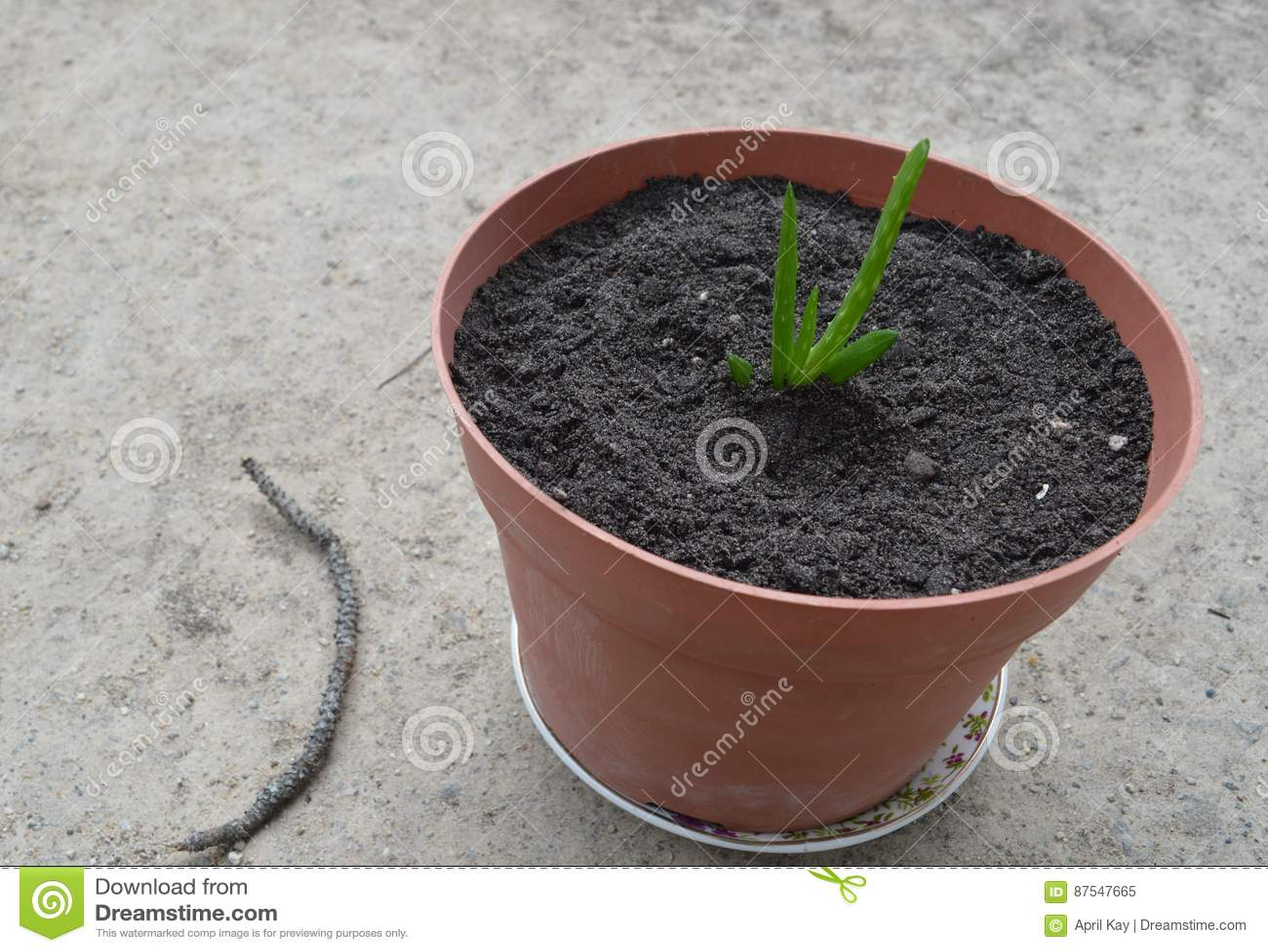 Aloe η σε δοχείο Βέρα