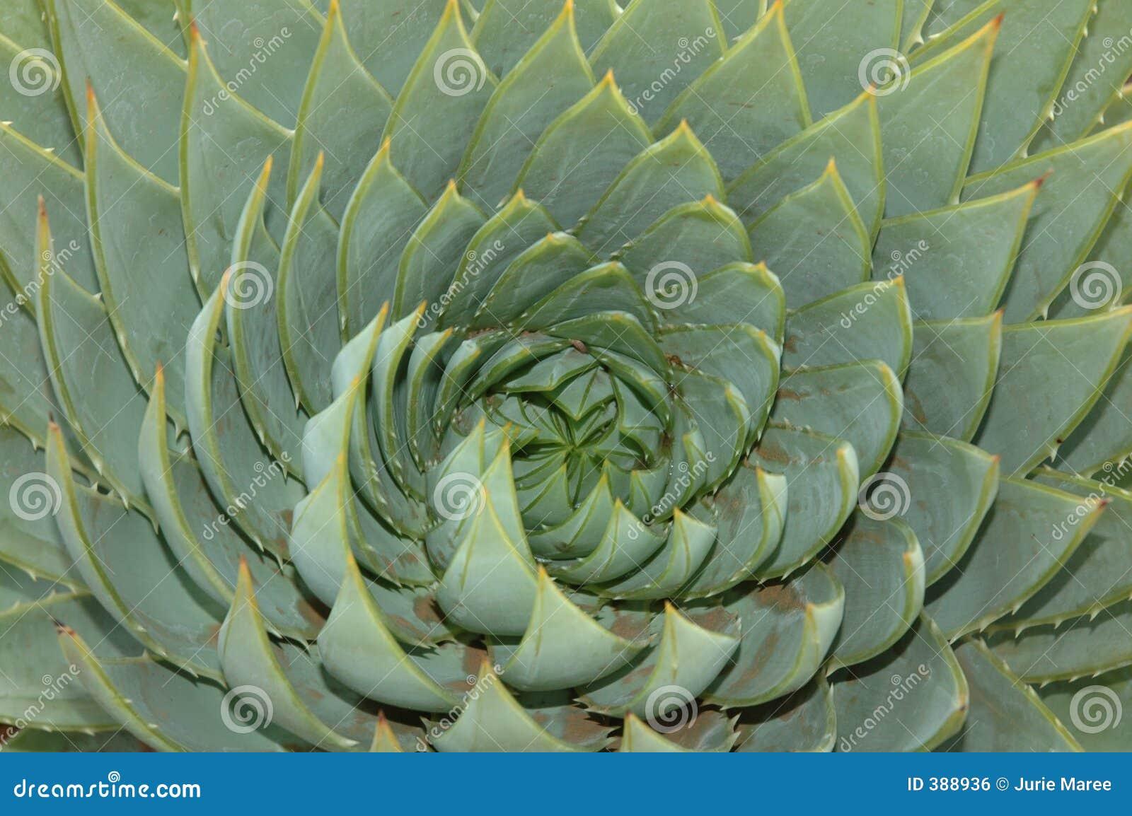 Aloe κορώνα