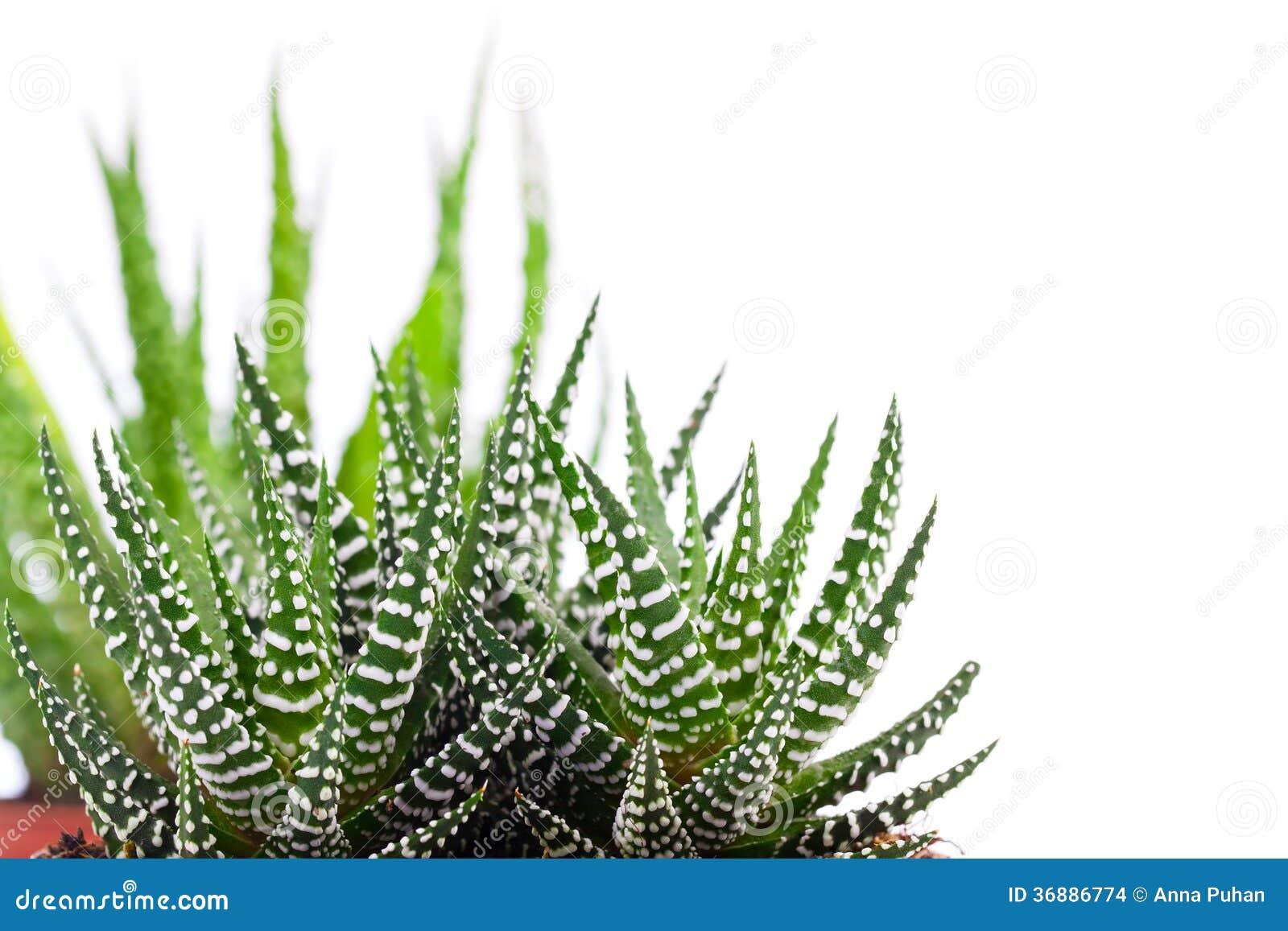 Download Aloe fotografia stock. Immagine di frondeggia, verde - 36886774