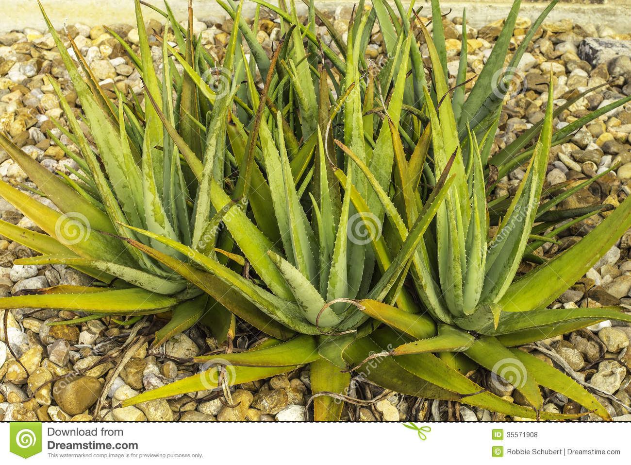 Aloe cactus plant royalty free stock photos image 35571908 - What is cactus plant good for ...