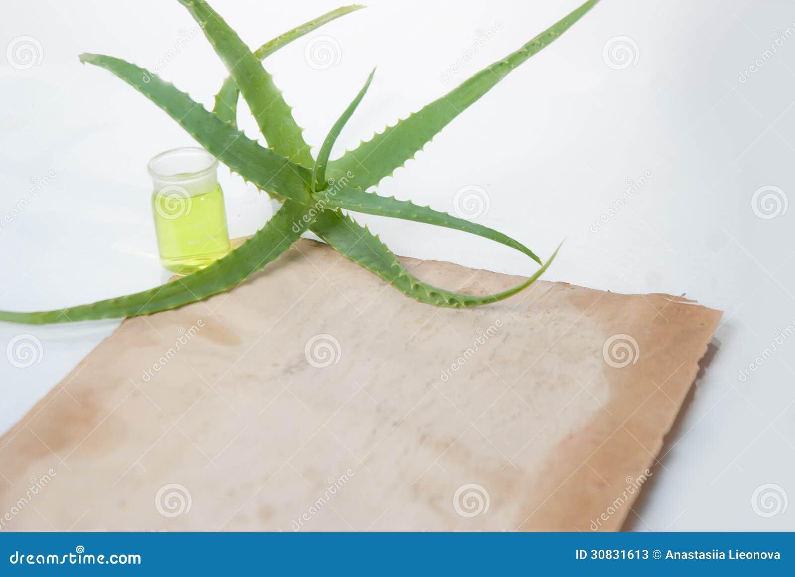 Aloe della pianta da appartamento