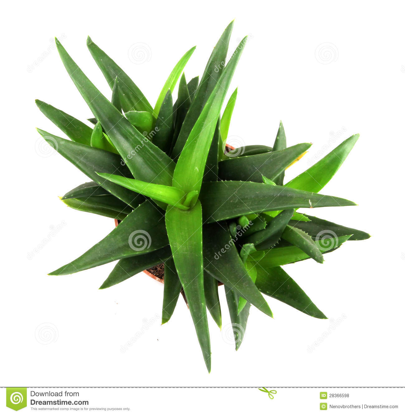 aloe vera plant isolated on white royalty free stock photos image 28366598. Black Bedroom Furniture Sets. Home Design Ideas