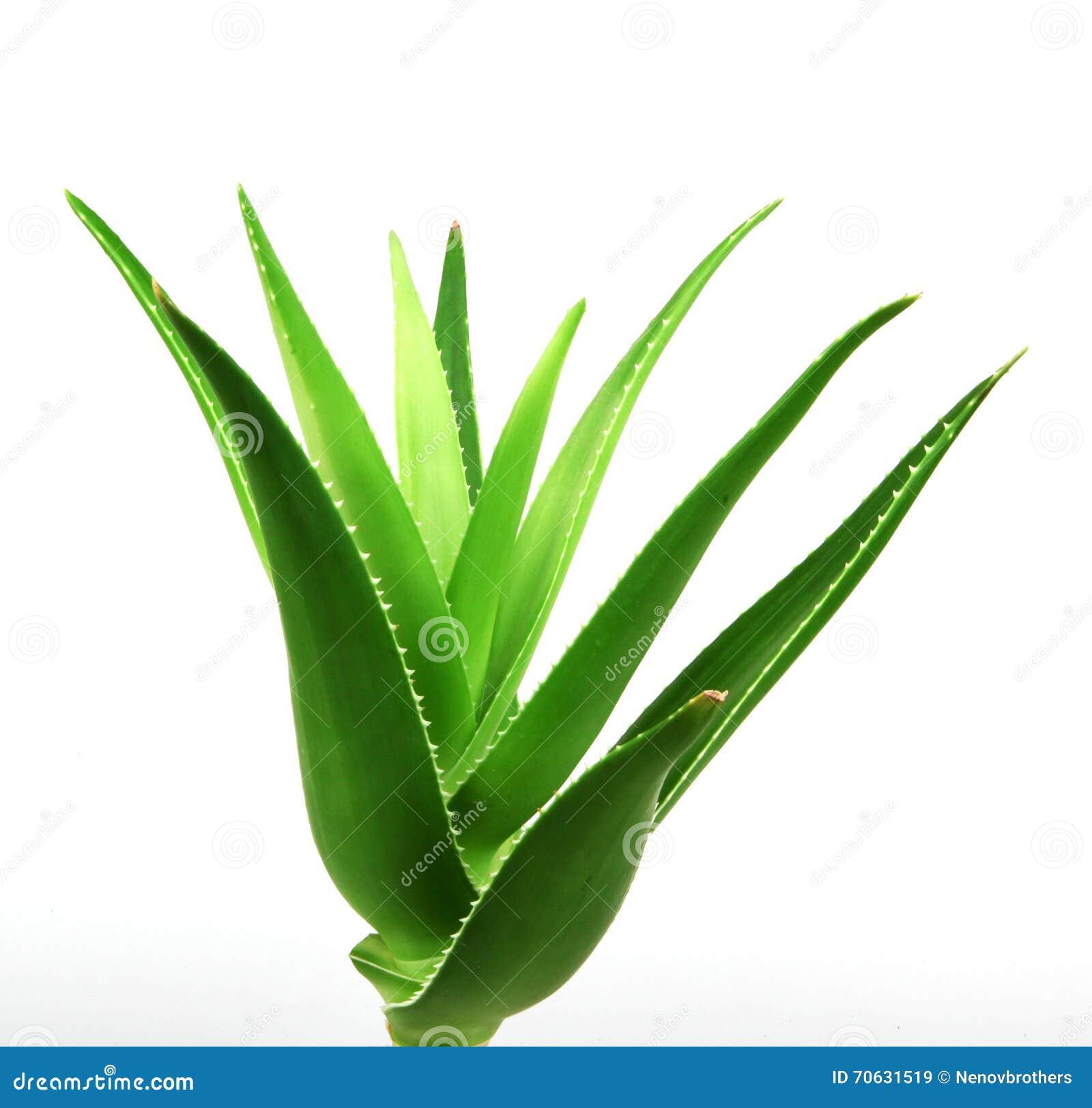 aloe vera plant isolated on white stock image image of botany healthy 70631519. Black Bedroom Furniture Sets. Home Design Ideas