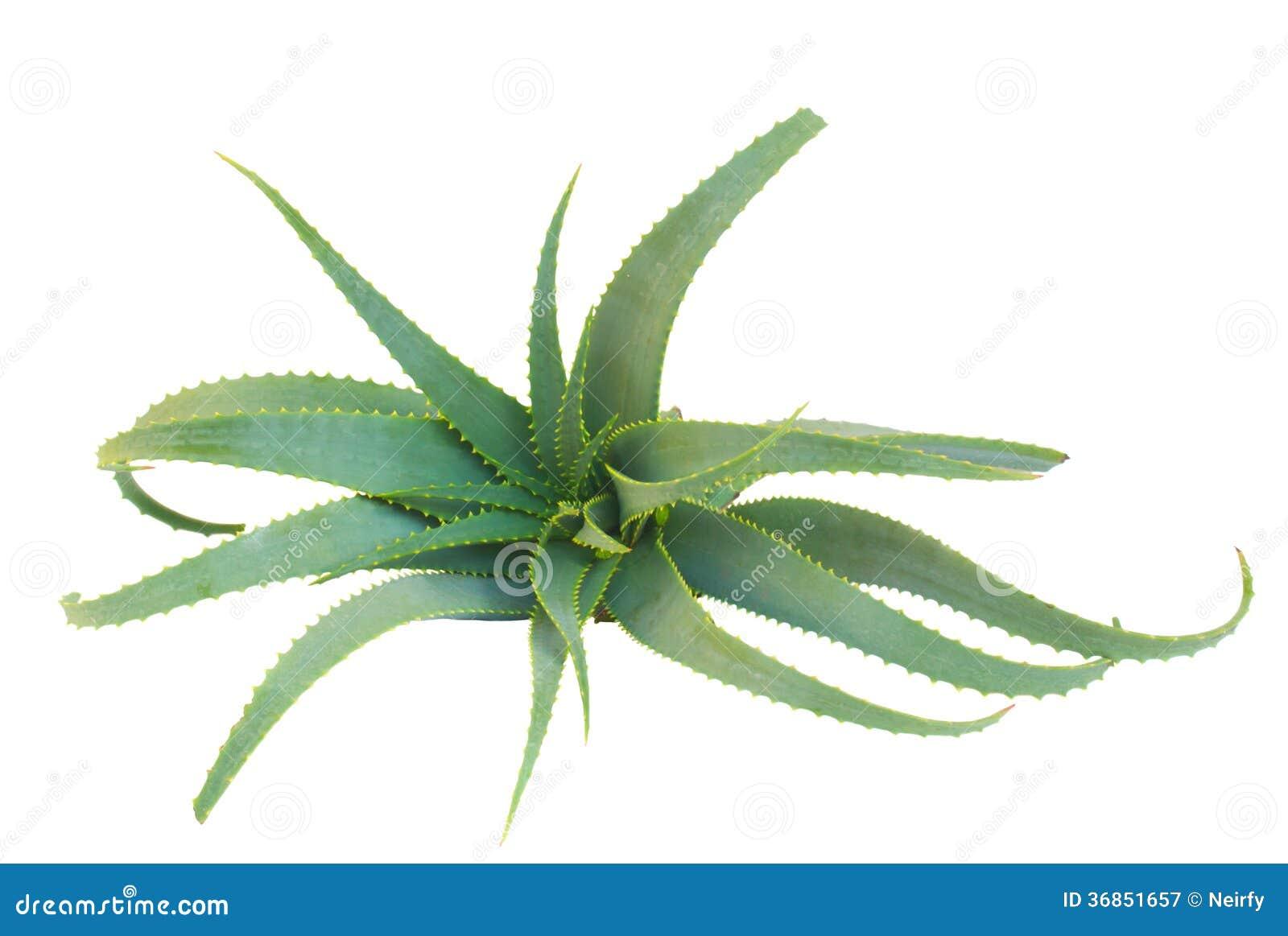 aloe vera plant royalty free stock photography image 36851657. Black Bedroom Furniture Sets. Home Design Ideas