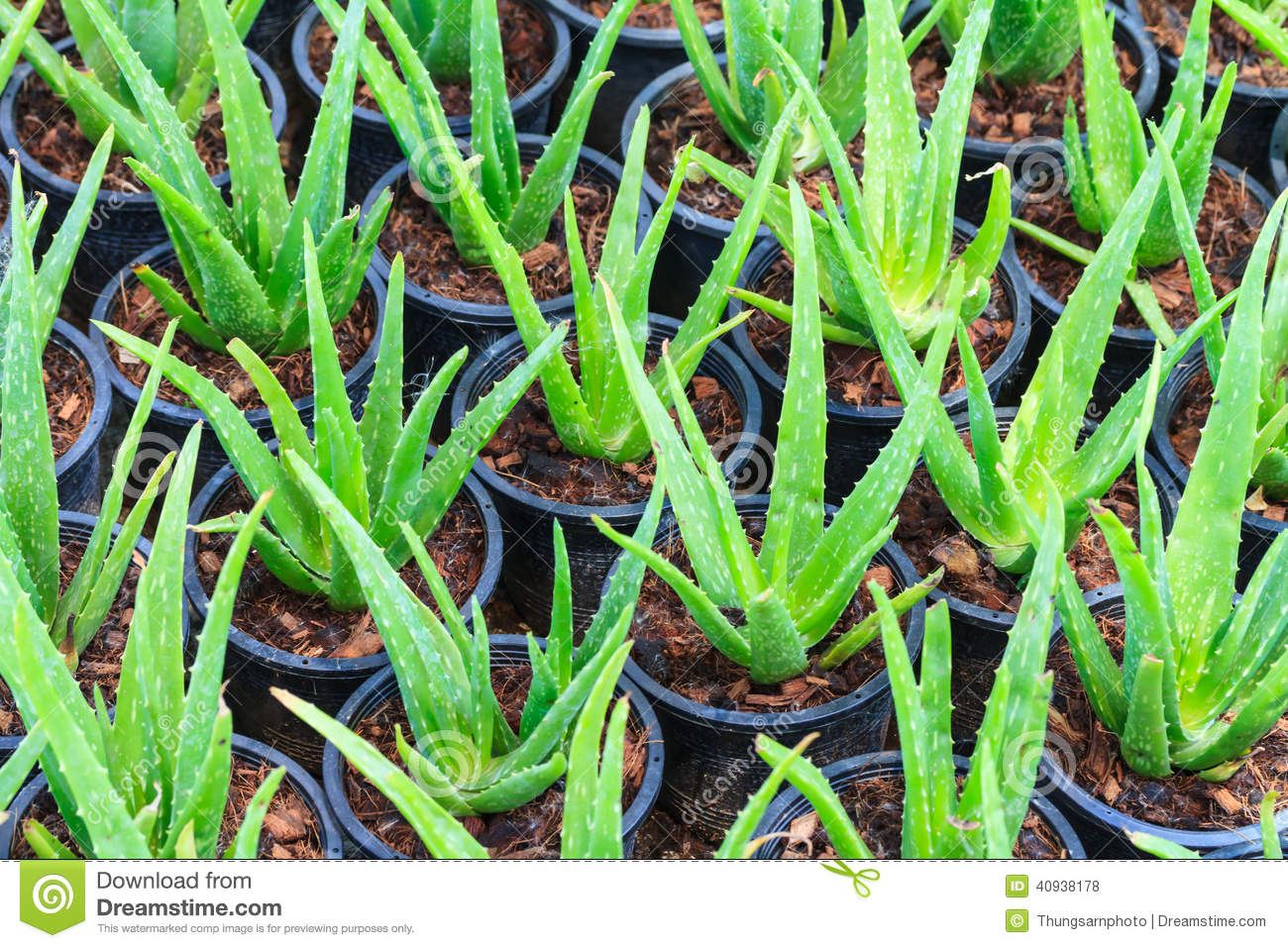 how to grow an aloe vera plant from a leaf