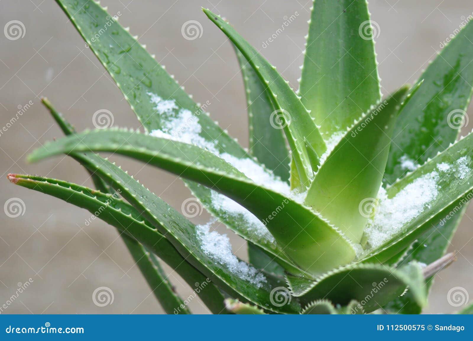Aloe vera plant with snow