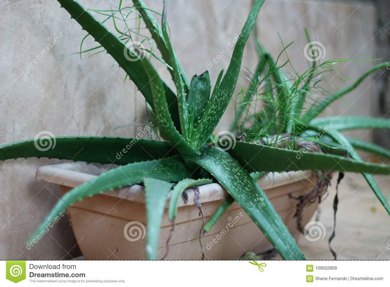 How aloe vera is used in cosmetology