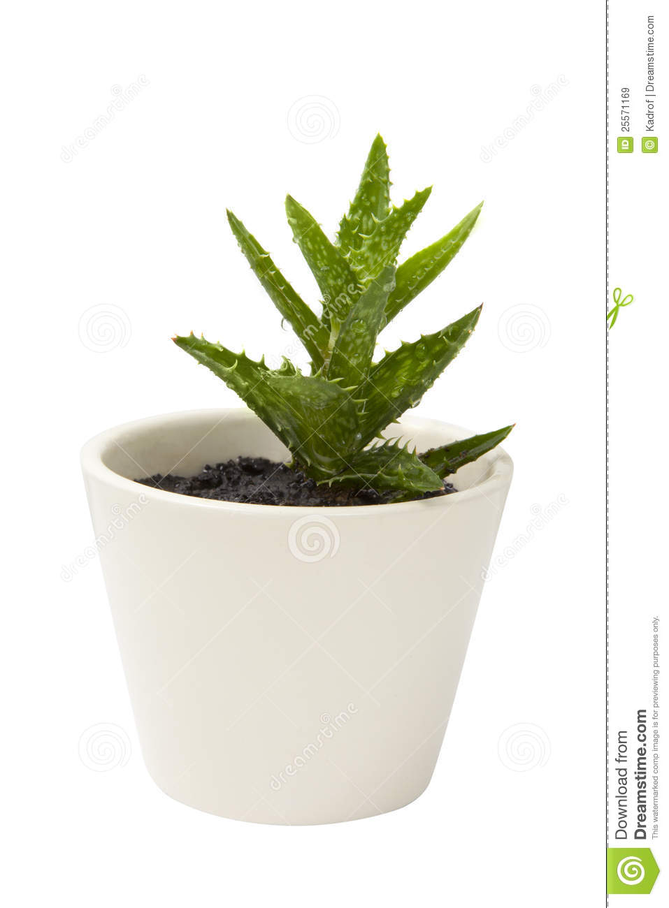 Aloe vera plant in the white clay pot royalty free stock images image 25571169 - Aloe vera en pot ...
