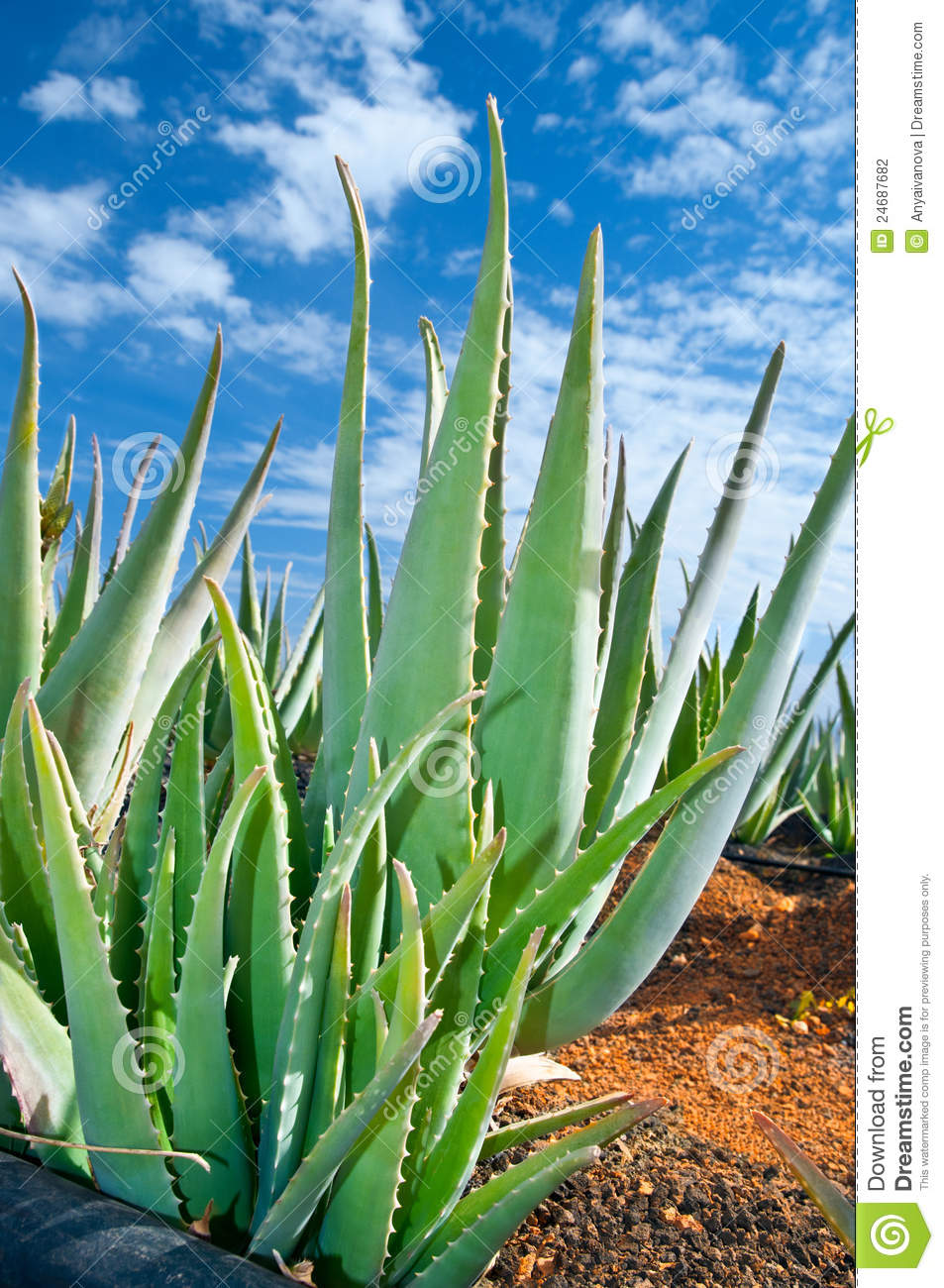 aloe vera plantage stockfoto bild von laub w ste aloe 24687682. Black Bedroom Furniture Sets. Home Design Ideas