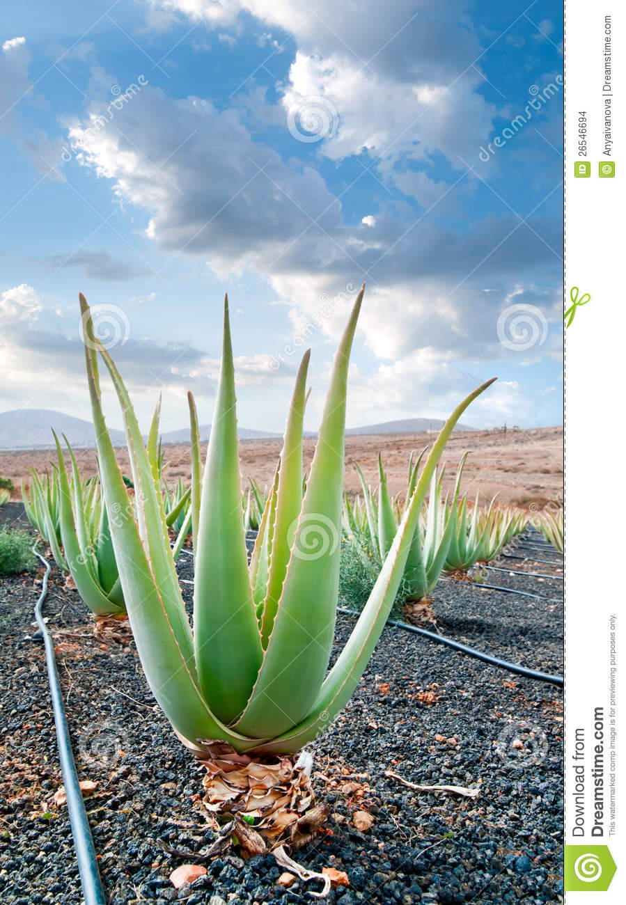 aloe vera plantation on fuerteventura stock photo image of islands leaf 26546694. Black Bedroom Furniture Sets. Home Design Ideas