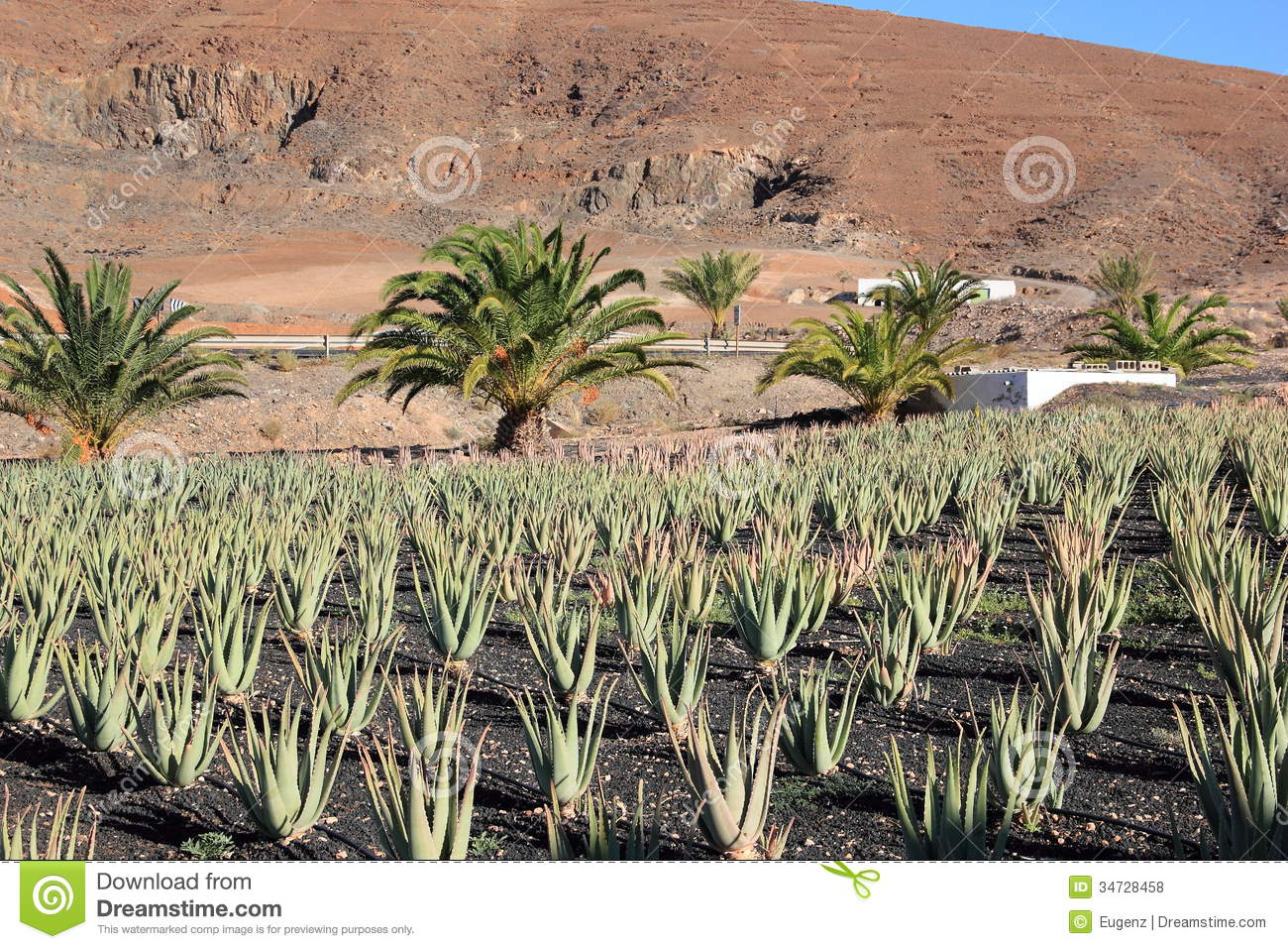 aloe vera plantation fuerteventura canary islands royalty free stock photos image 34728458. Black Bedroom Furniture Sets. Home Design Ideas