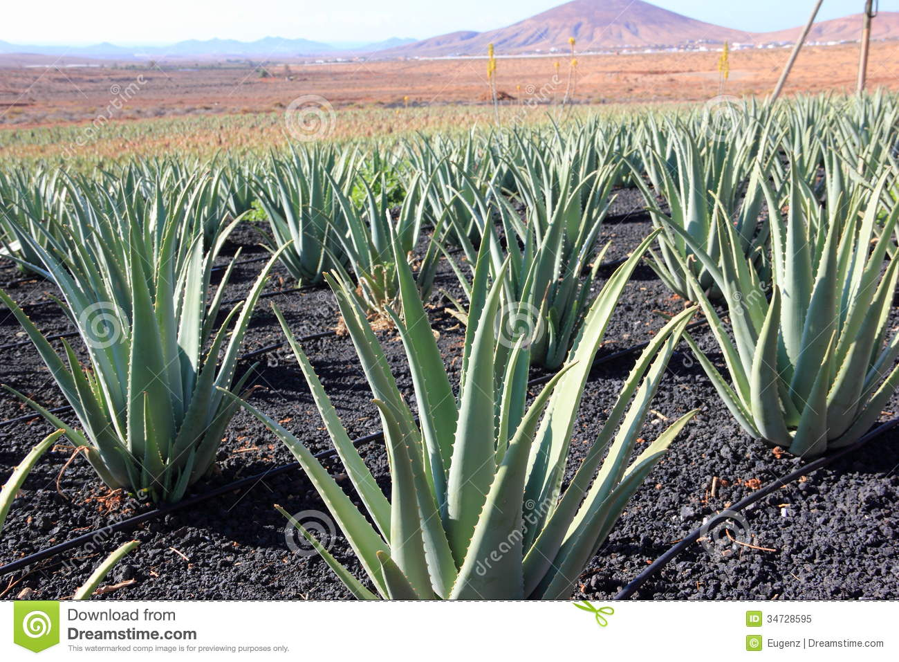 aloe vera plantation fuerteventura canary islands royalty free stock photo image 34728595. Black Bedroom Furniture Sets. Home Design Ideas