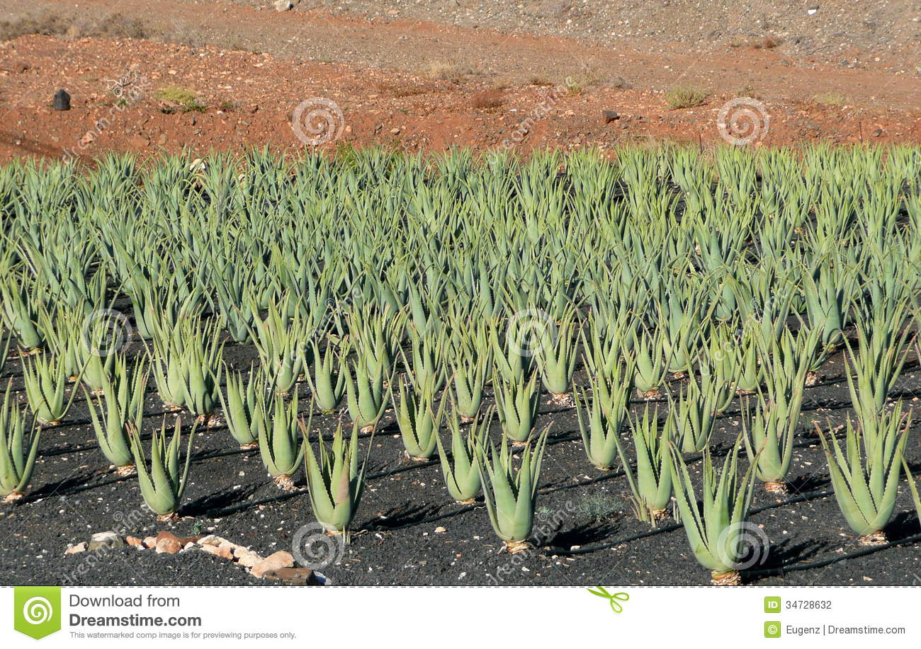 aloe vera plantation fuerteventura canary islands stock photo image 34728632. Black Bedroom Furniture Sets. Home Design Ideas