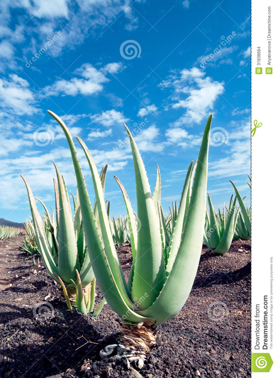 aloe vera plantation on furteventura stock images image 31838684. Black Bedroom Furniture Sets. Home Design Ideas