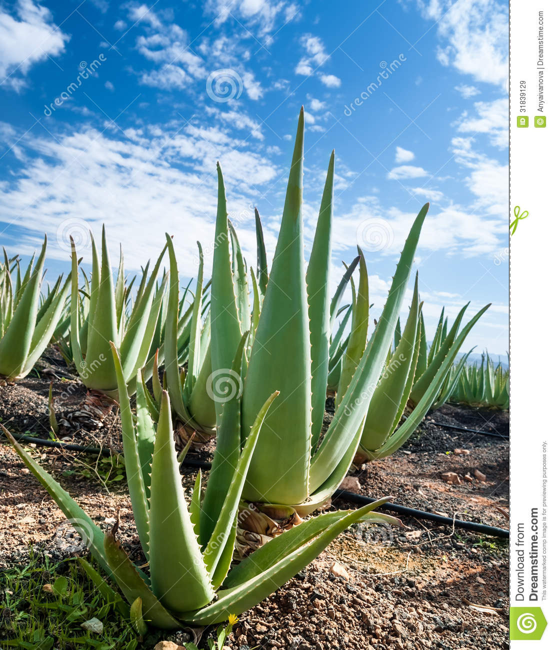 aloe vera plantation on furteventura royalty free stock images image 31839129. Black Bedroom Furniture Sets. Home Design Ideas