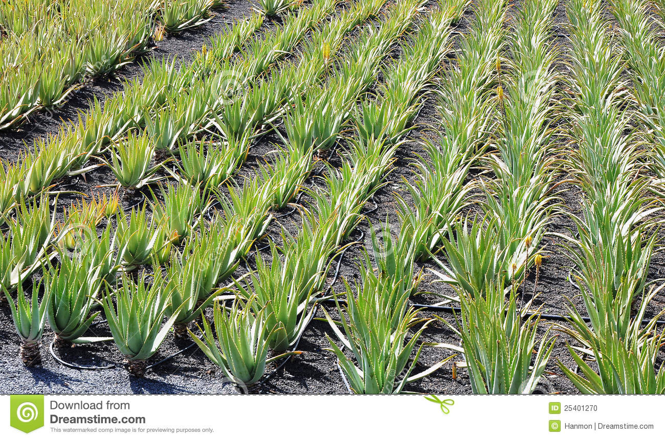 aloe vera plantation in lanzarote stock photo image of leaf grow 25401270. Black Bedroom Furniture Sets. Home Design Ideas