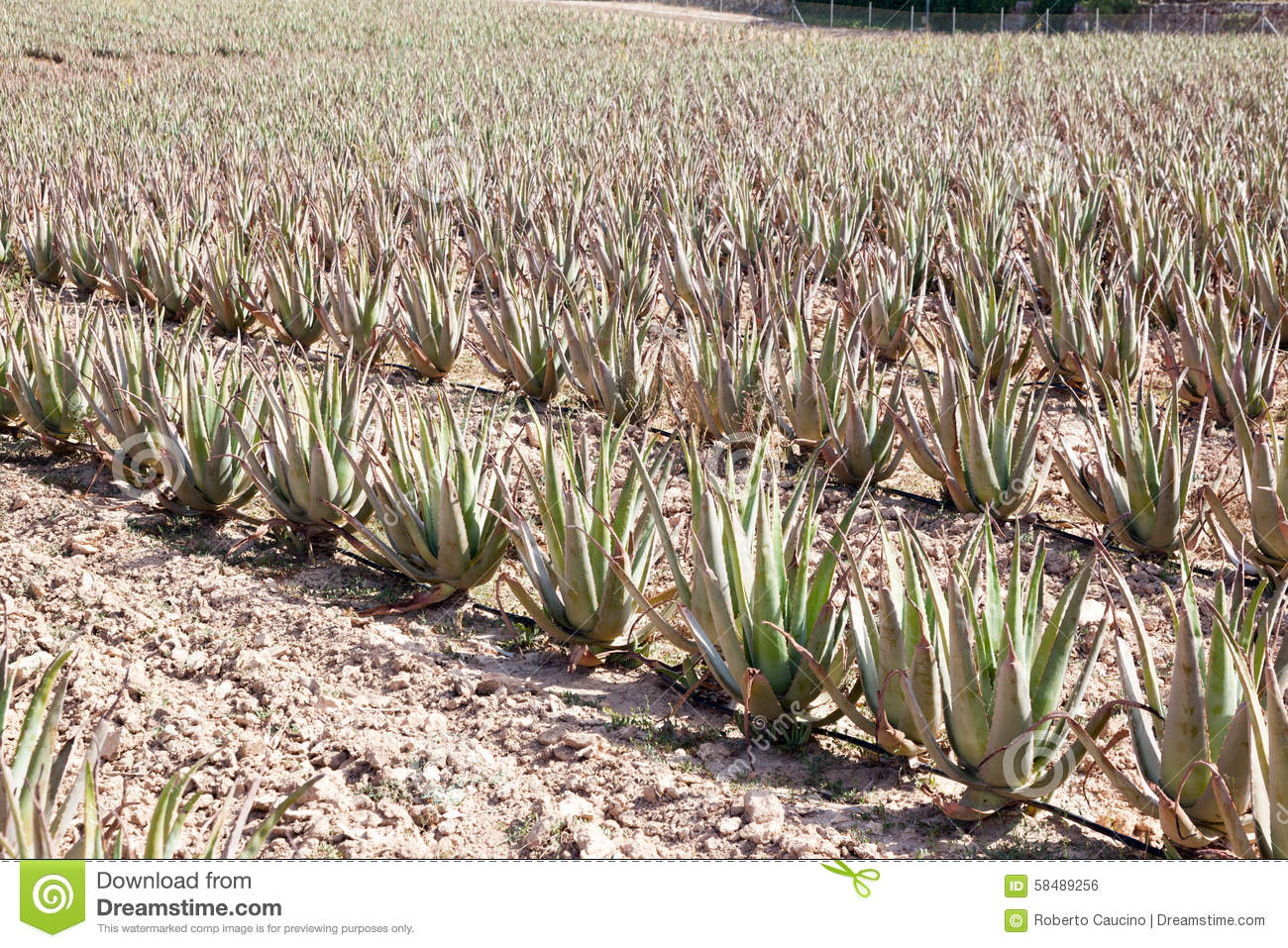 aloe vera plantation of medicinal aloe vera stock photo image 58489256. Black Bedroom Furniture Sets. Home Design Ideas