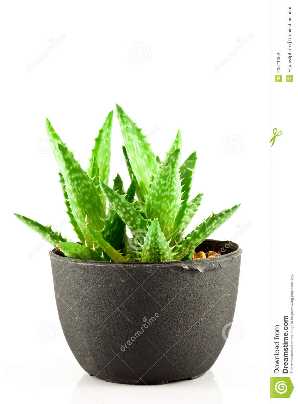 Aloe vera in a pot stock images image 20671054 - Aloe vera en pot ...