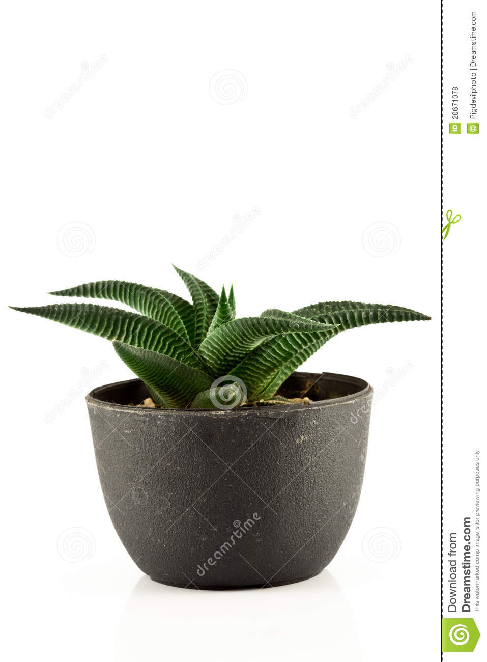 Aloe vera in a pot royalty free stock photos image 20671078 - Aloe vera en pot ...