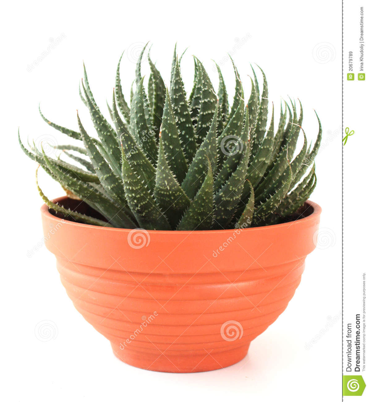 Aloe vera in a pot royalty free stock images image 20679789 - Aloe vera en pot ...