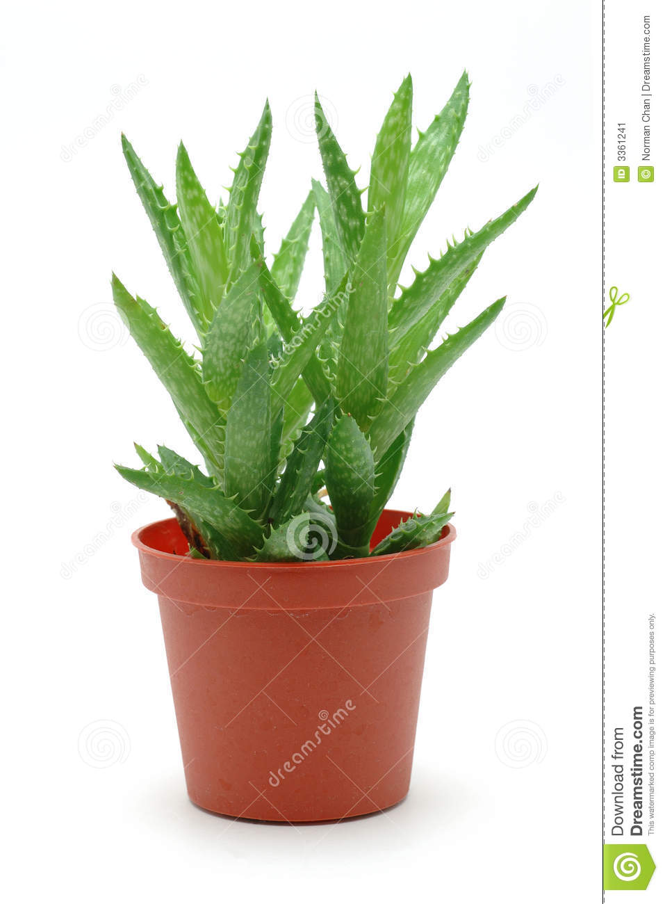 Aloe vera in pot stock image image of grow closeup stem 3361241 - Aloe vera en pot ...