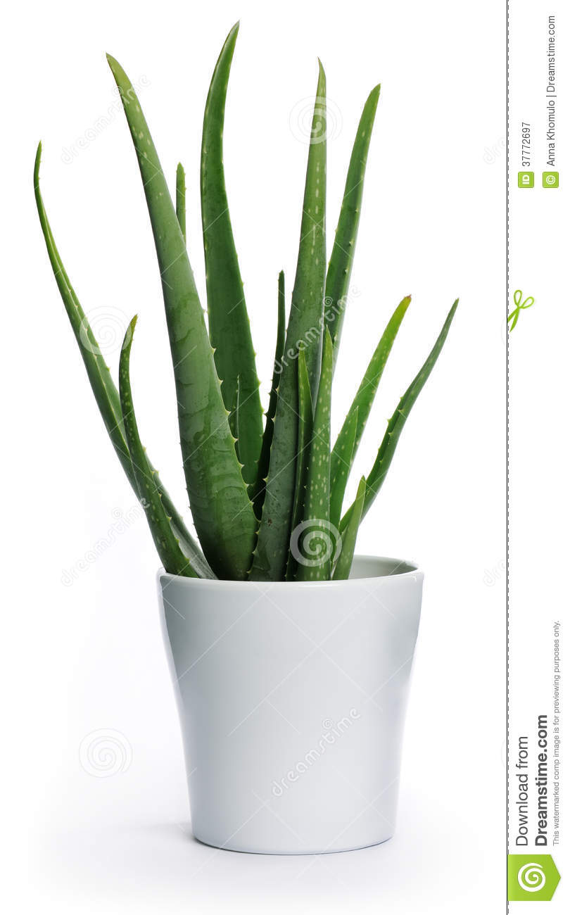 Aloe vera royalty free stock photography image 37772697 - Aloe vera en pot ...