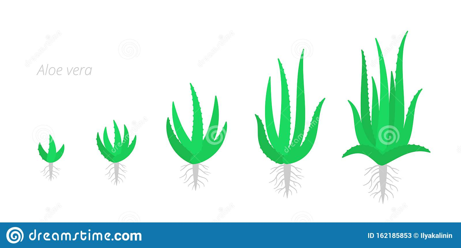 Aloe Vera Is A Succulent Plant The Life Cycle Of Cactus Aloe Growth Stages Phases Set Ripening Growing Period With The Roots Stock Illustration Illustration Of Natural Isolated 162185853