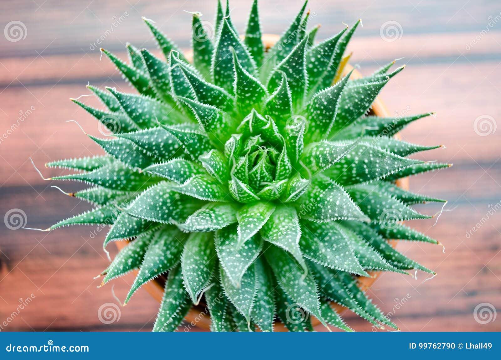 Aloeväxt vera