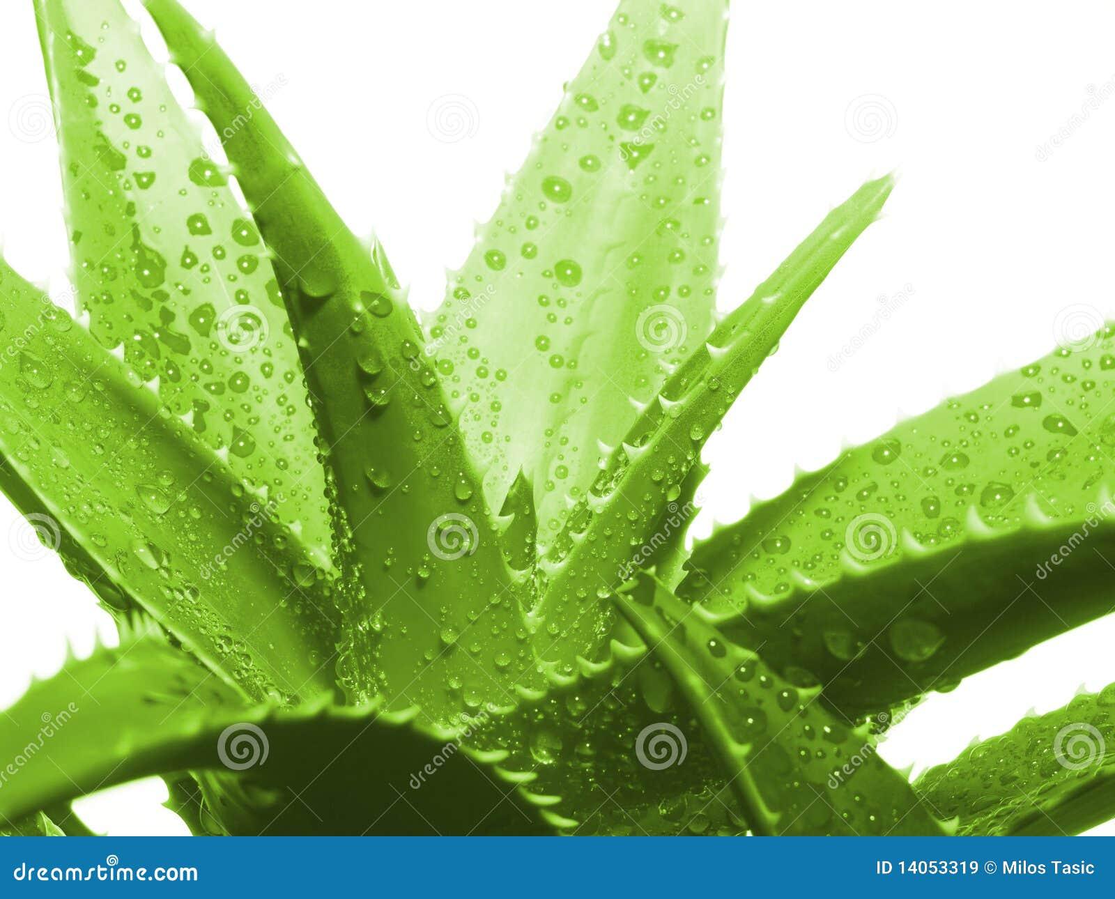 Aloevera-Blätter