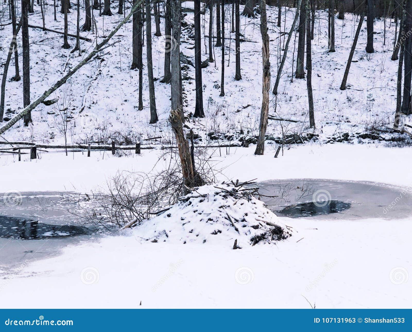 Alojamento do castor na neve