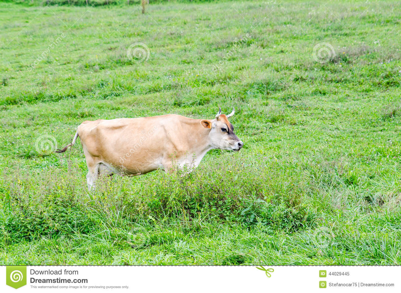 alone cow eating grass in green pasture stock photo Cow Eating Grass SVG Cow Eating Grass SVG