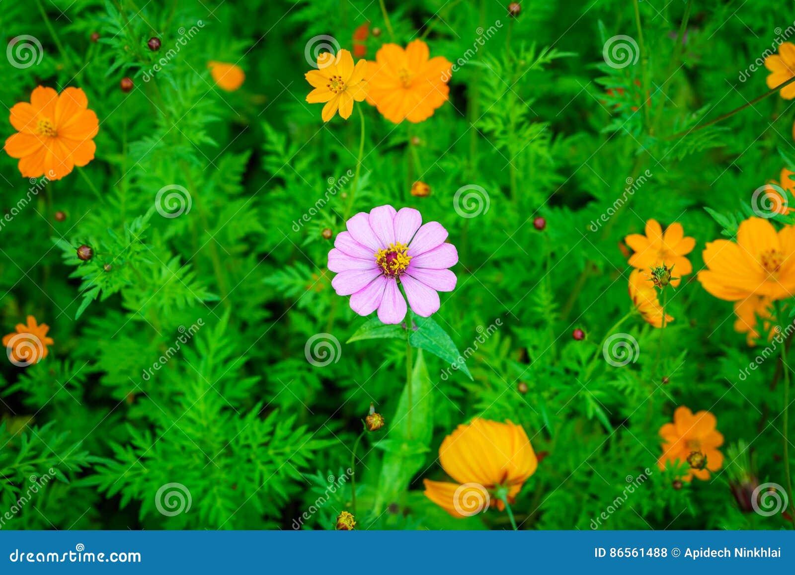Alone Purple Zinnia Elegans Flower In Orange Cosmos Sulphureus Stock