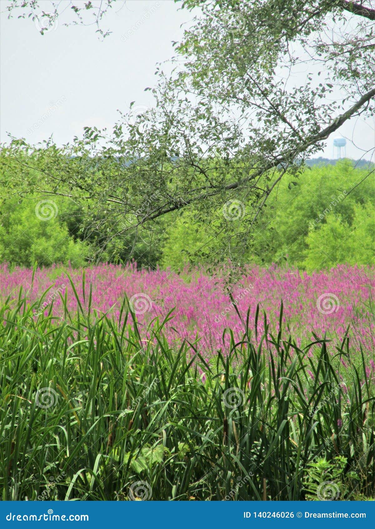 Mississippi Marsh Flowers