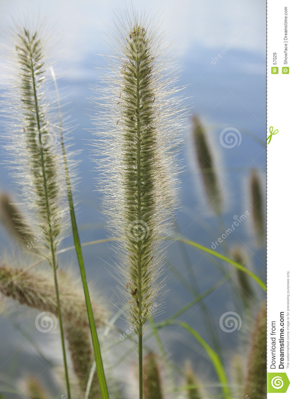 Download Alopecuroides De Pennisetum - Compartiment Du Canada Image stock - Image du serein, compartiment: 57029