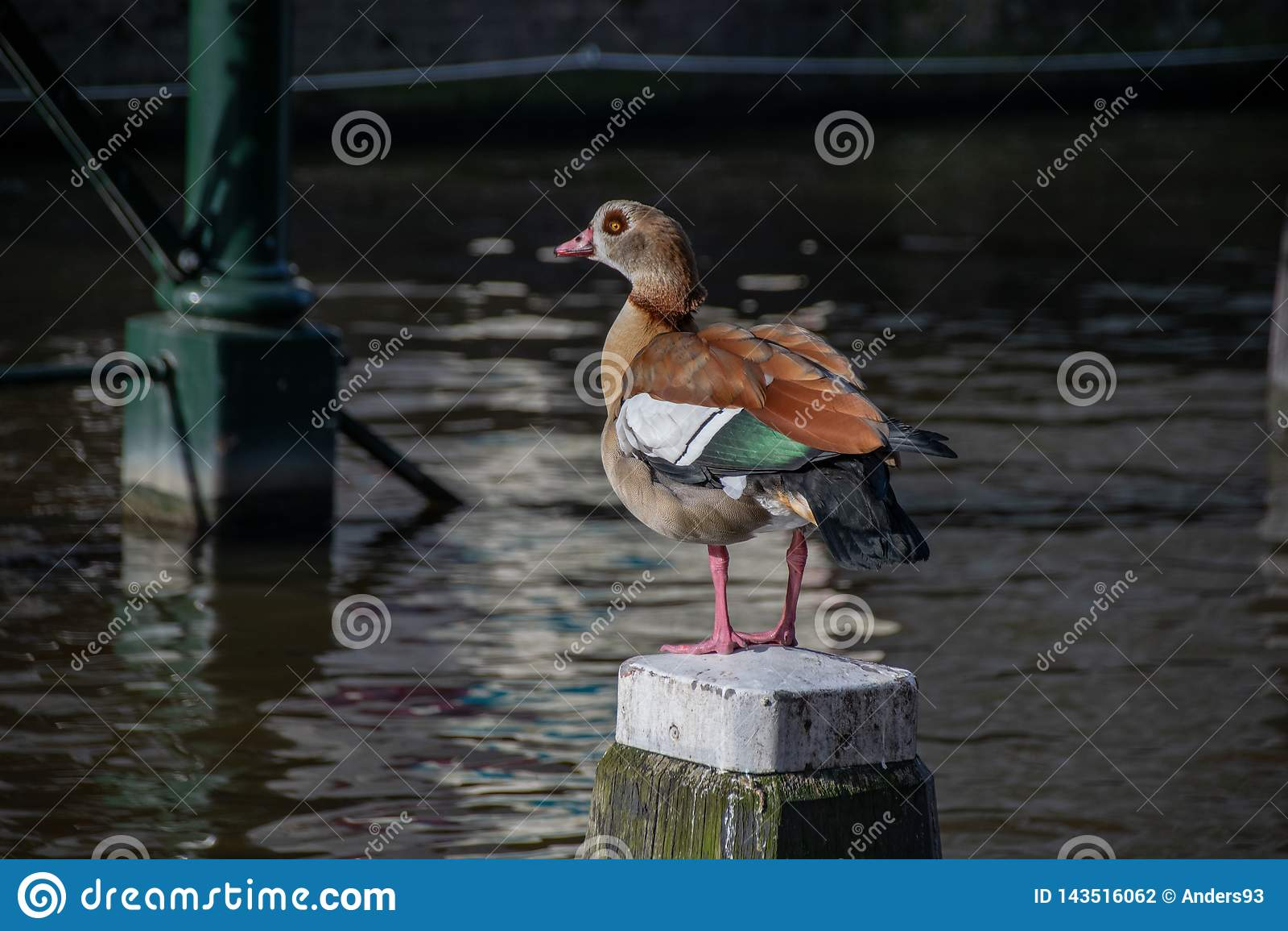 Alopochen ägyptiacus Alopochen-aegyptiaca, das auf einem hölzernen Posten in der Mitte eines Kanals in Amsterdam, die Niederlande