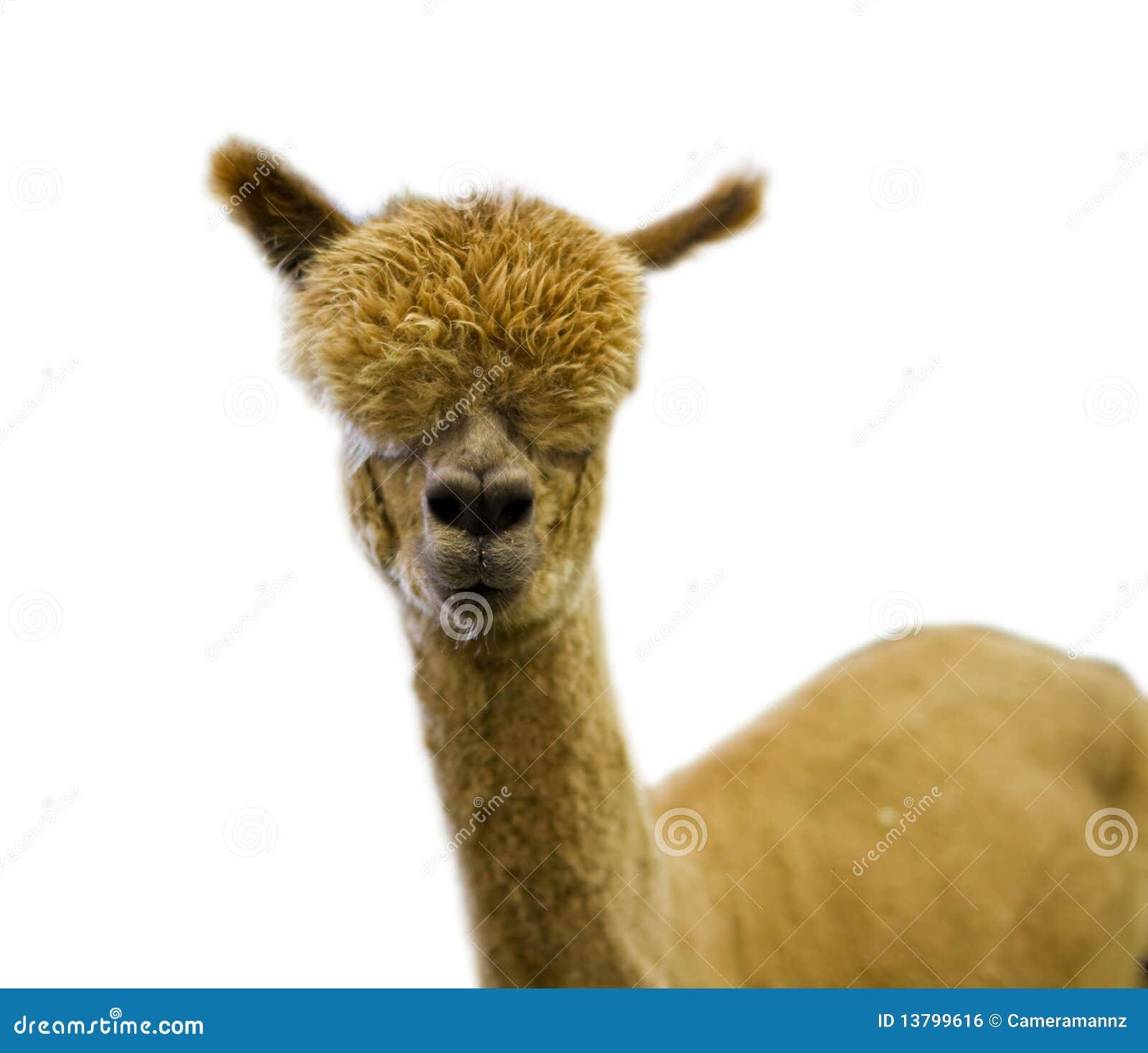Alpaca Stock Image Cartoondealer Com 47096503