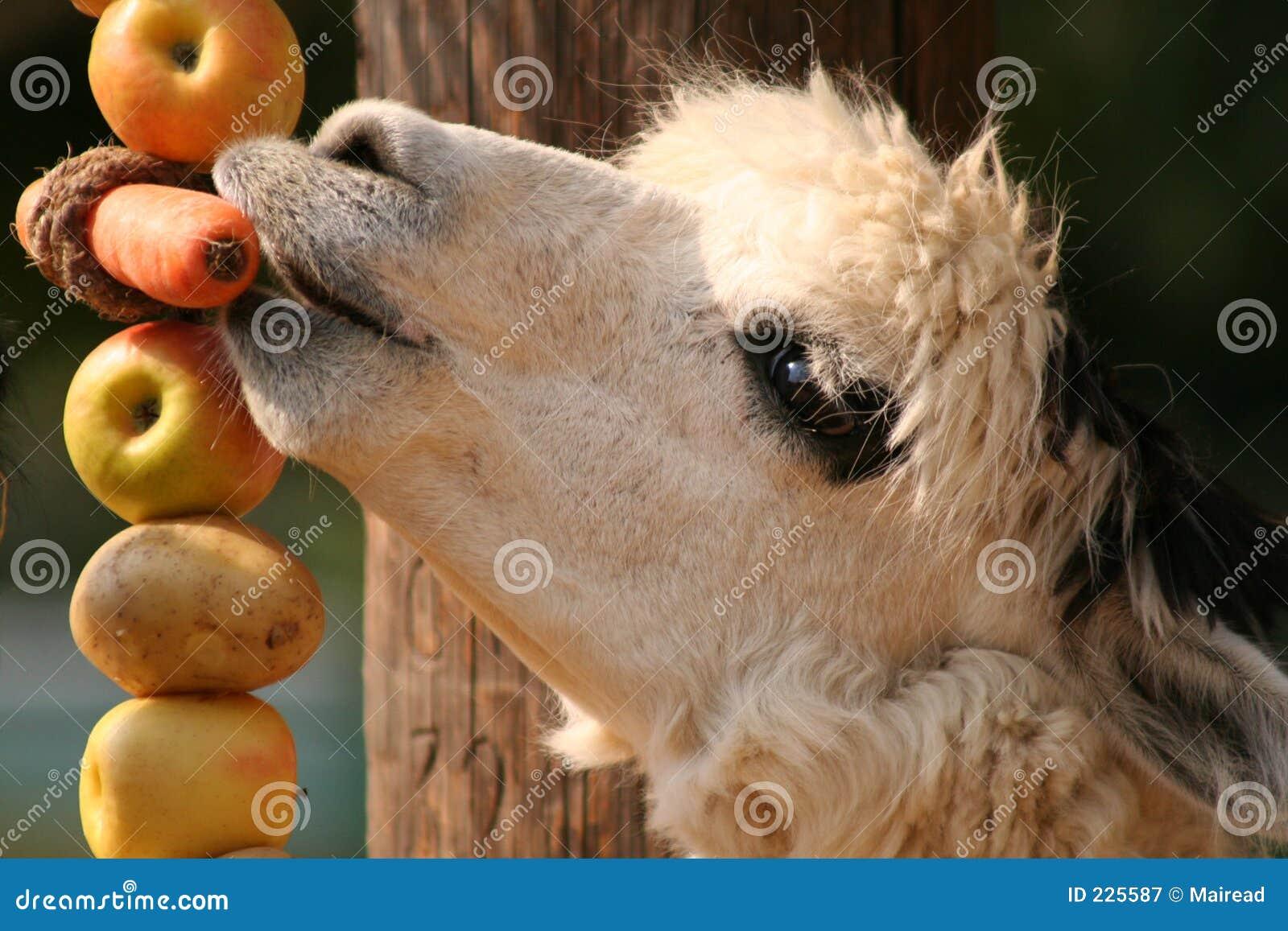 Download Alpaca stock image. Image of mammal, peru, alpaca, carrot - 225587