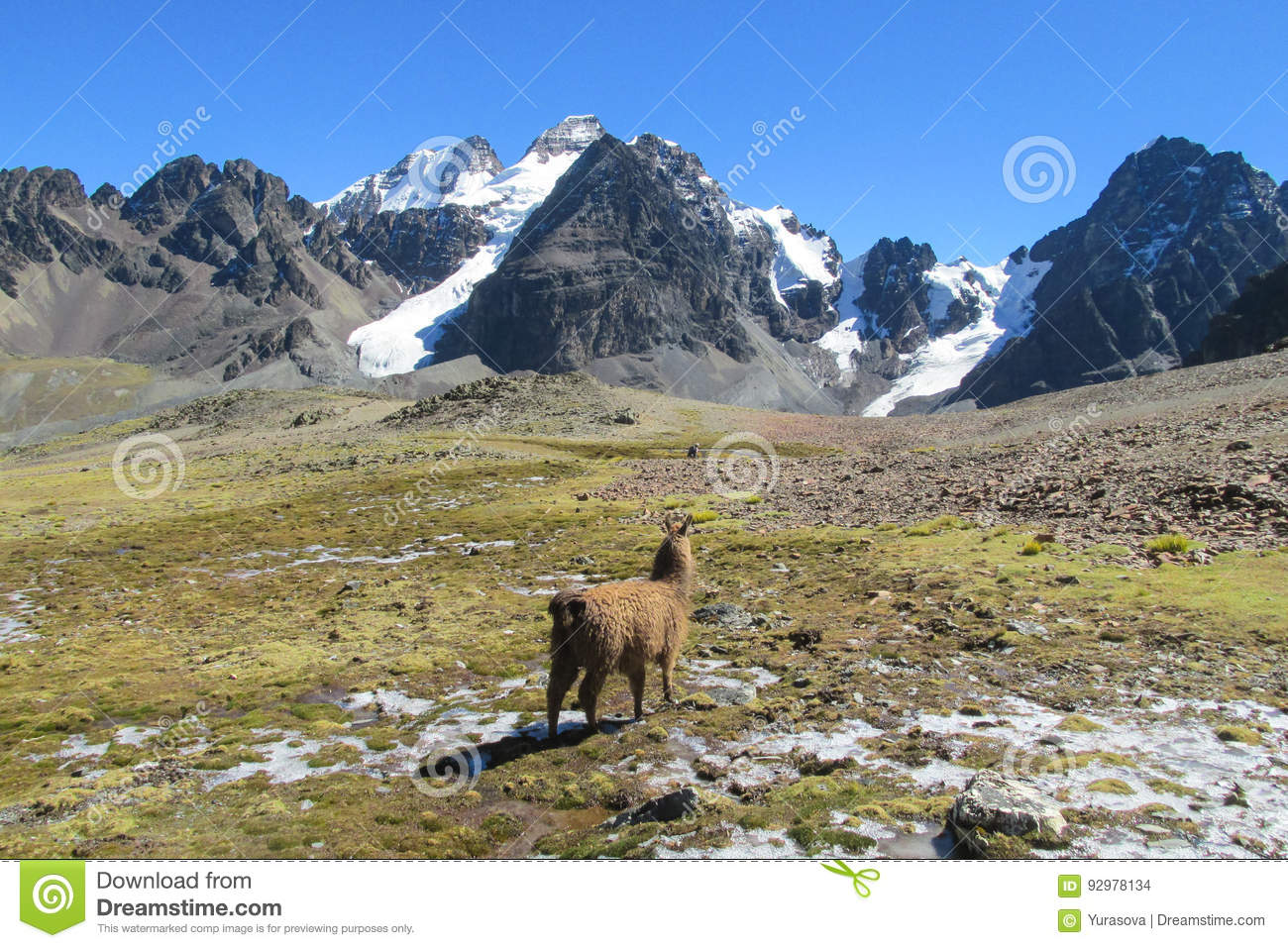 Alpaca In The Andes Mountains Of Bolivia Stock Photo Image Of Grass Brown 92978134