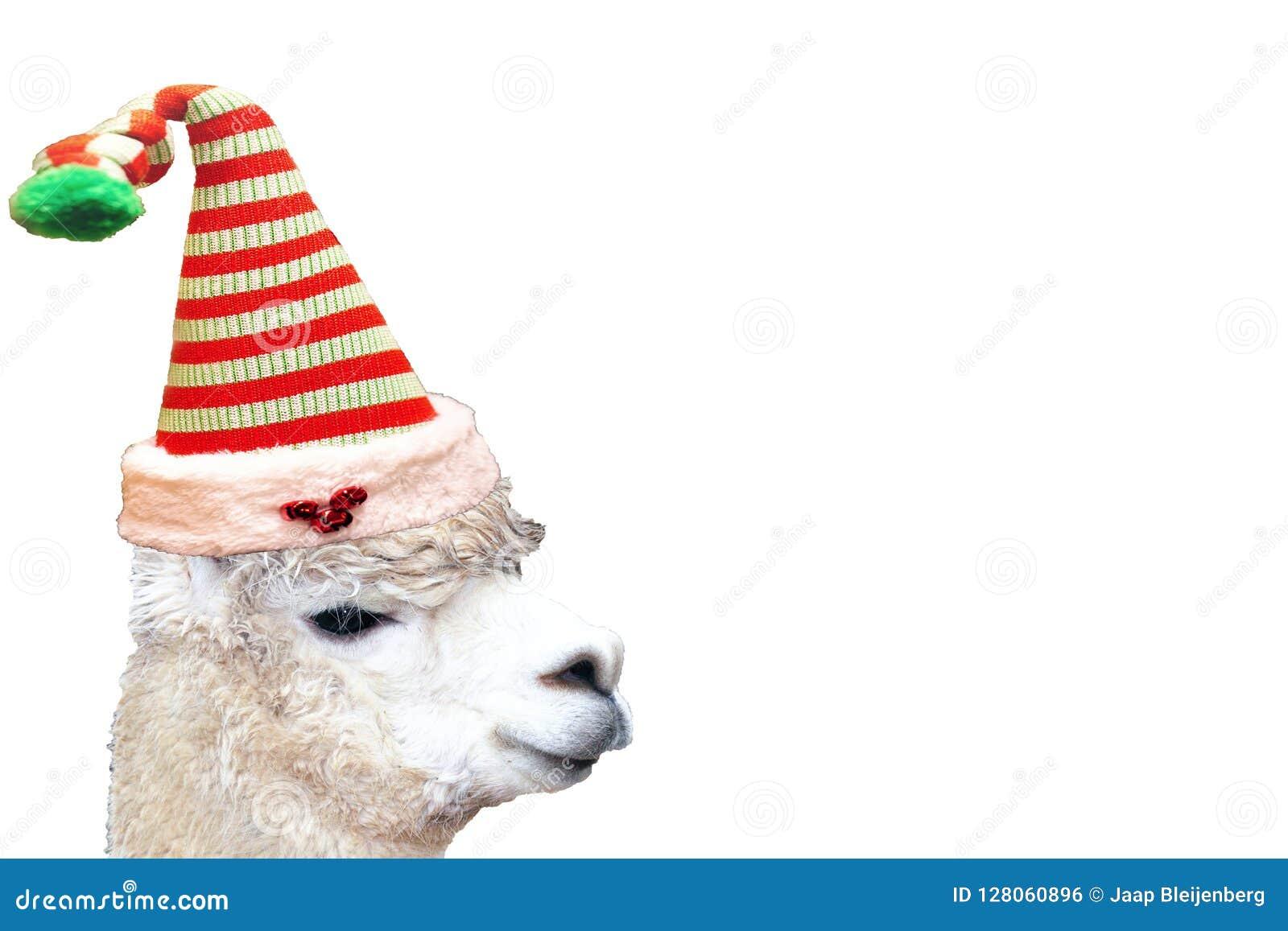 Alpaca animal de la Navidad muy linda y divertida que lleva un sombrero del duende aislado en un fondo blanco vacío
