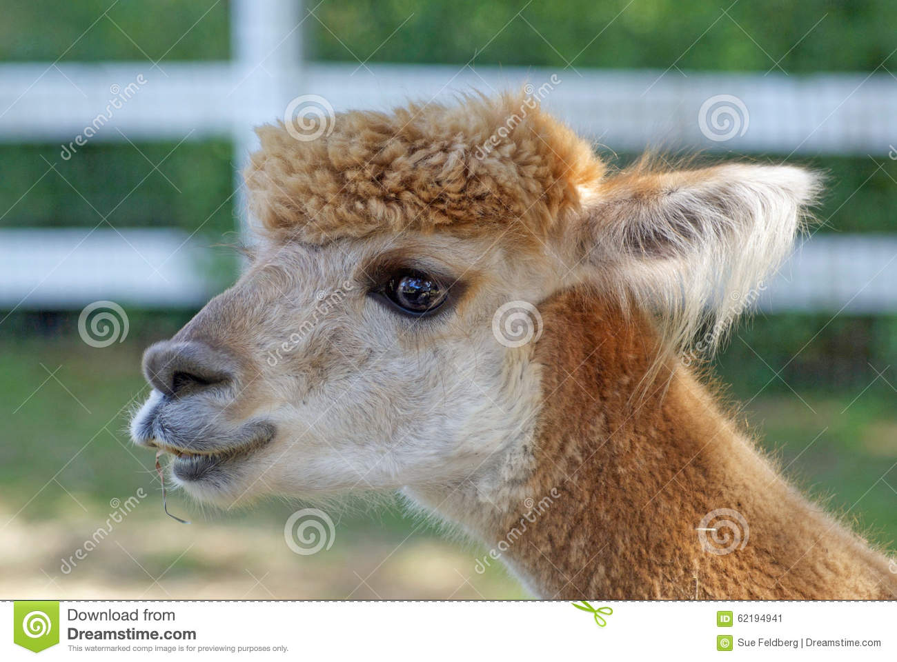 Alpaca in a field stock photo image 62194941 for Alpacas view farm cuisine