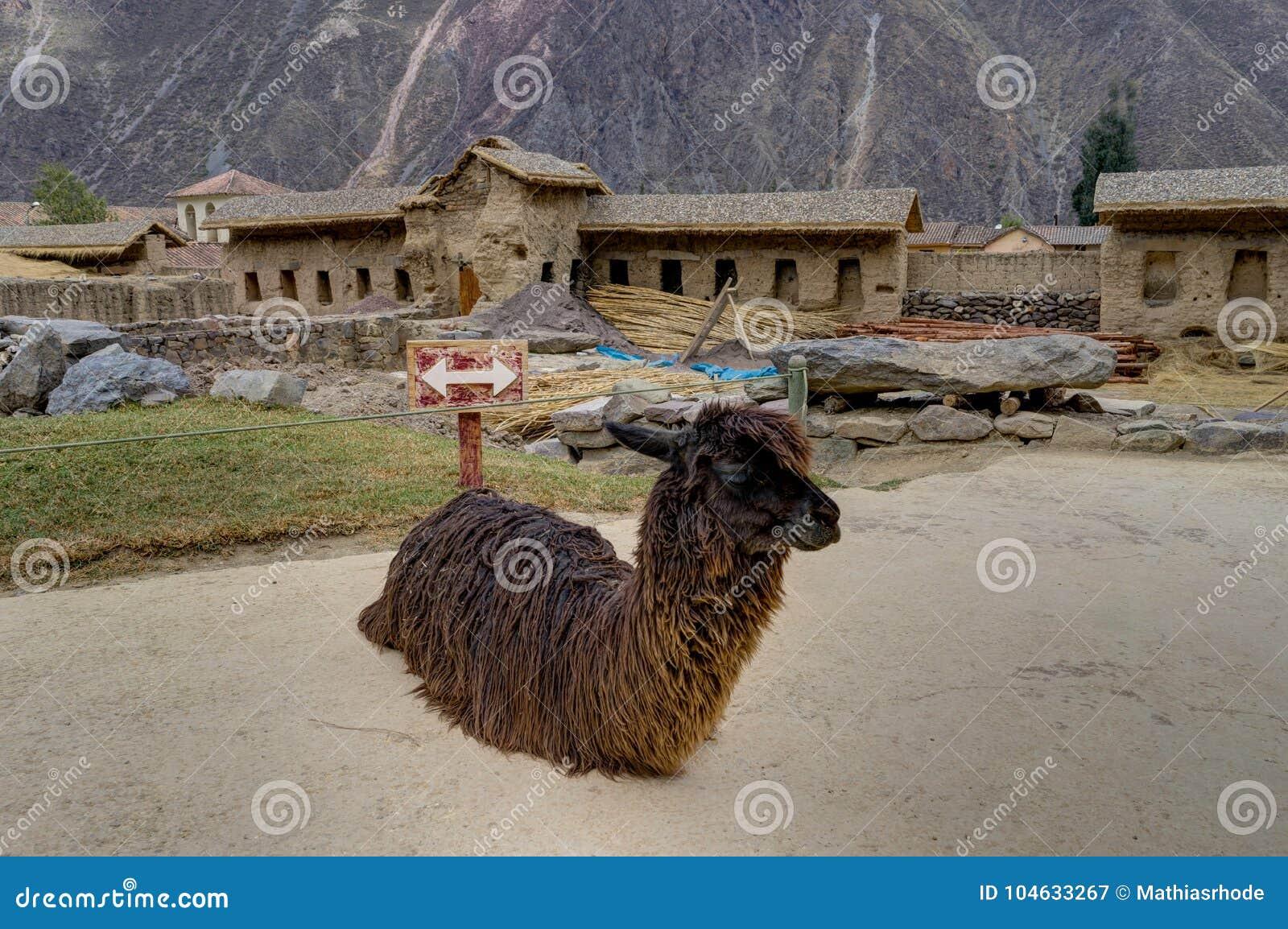 Download Alpaca In Ollantaytambo Peru Stock Afbeelding - Afbeelding bestaande uit cultuur, platteland: 104633267