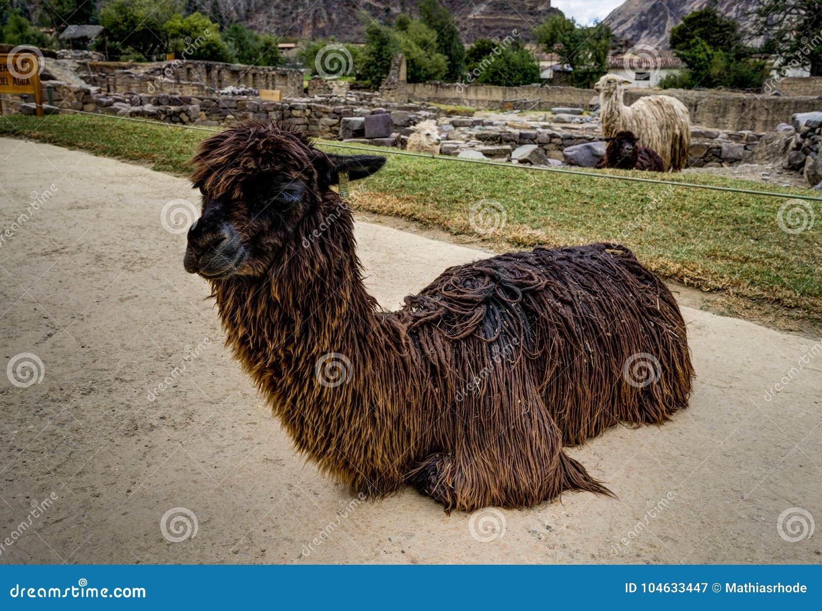 Download Alpaca In Ollantaytambo Peru Stock Afbeelding - Afbeelding bestaande uit platteland, cultuur: 104633447